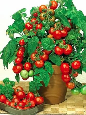Посадить помидоры в домашних условиях