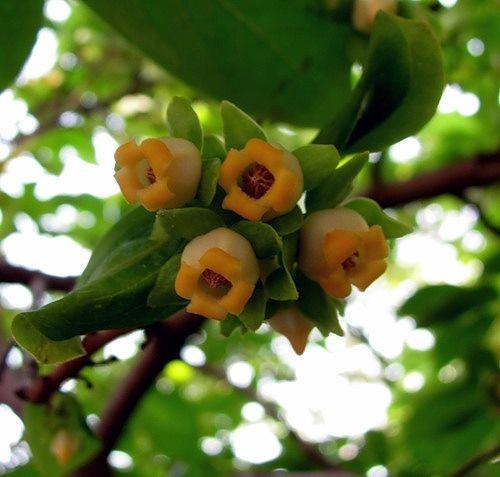 Фото цветок хурмы