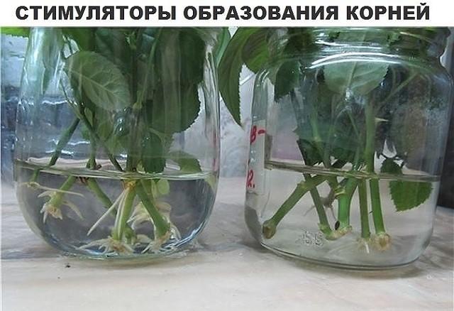 Как вырастить розу из букета черенком в домашних условиях