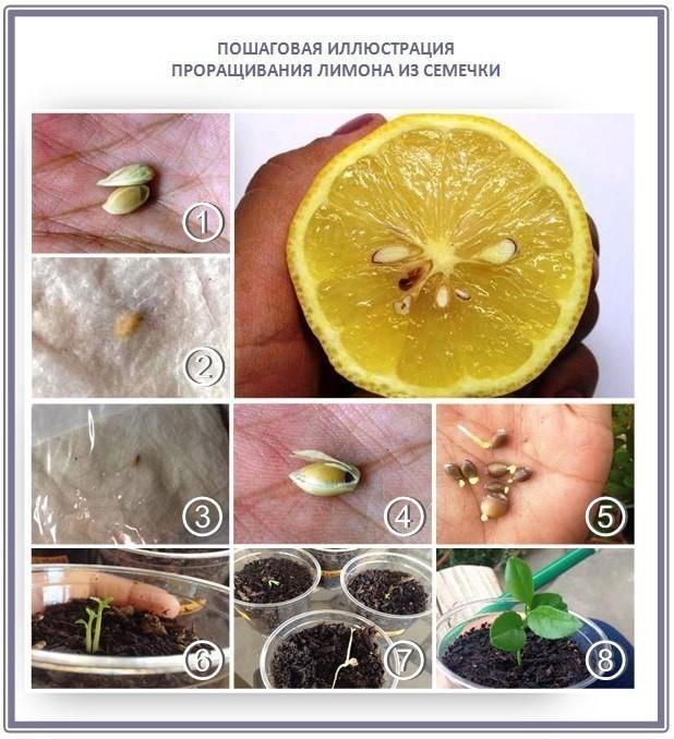 Как я выращивала апельсины и лимоны