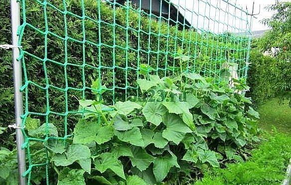 Выращивание огурцов на сетке в открытом