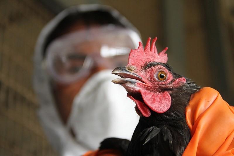 Из-за вспышки птичьего гриппа у курян изымают кур