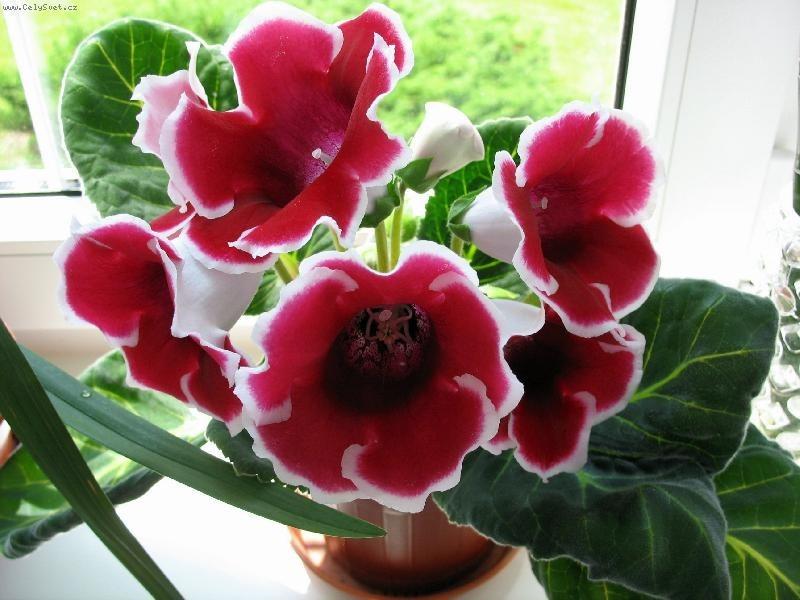 Глоксиния: посадка клубня. Как посадить глоксинию клубнем ...