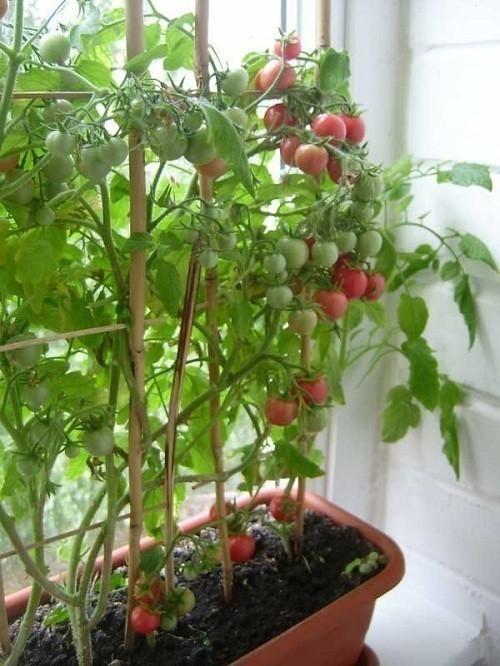 Огурцы и помидоры в домашних условиях