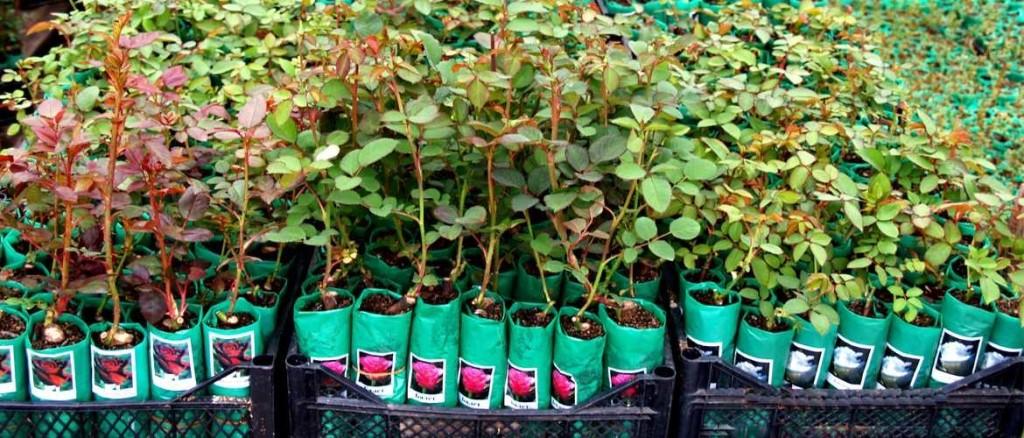 Саженцы роз и елей направлены из Приморья в КНДР
