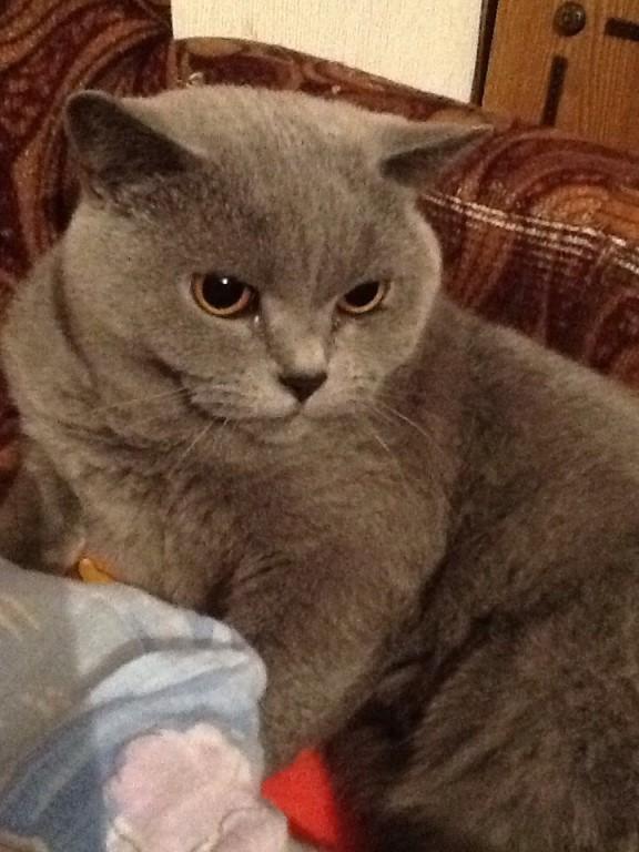 Отдам кошку британка , к лотку приучена древесный наполнитель , ест сухой корм самый обычный