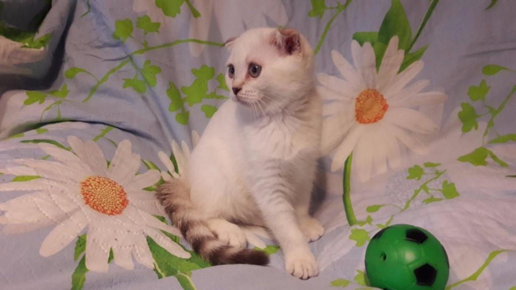 Продам Чистокровных Шотландских породистых котят,кошечки.Черепаховая кошечка прямо ухая,белая кошечка вислоухая.Родились апрель 2017 год.