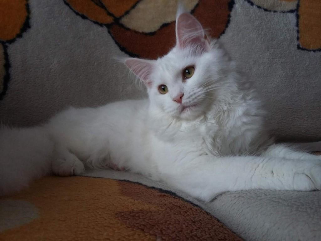 Мейн-куны - самые большие(среди домашних кошек),добрые,ласковые кошки.