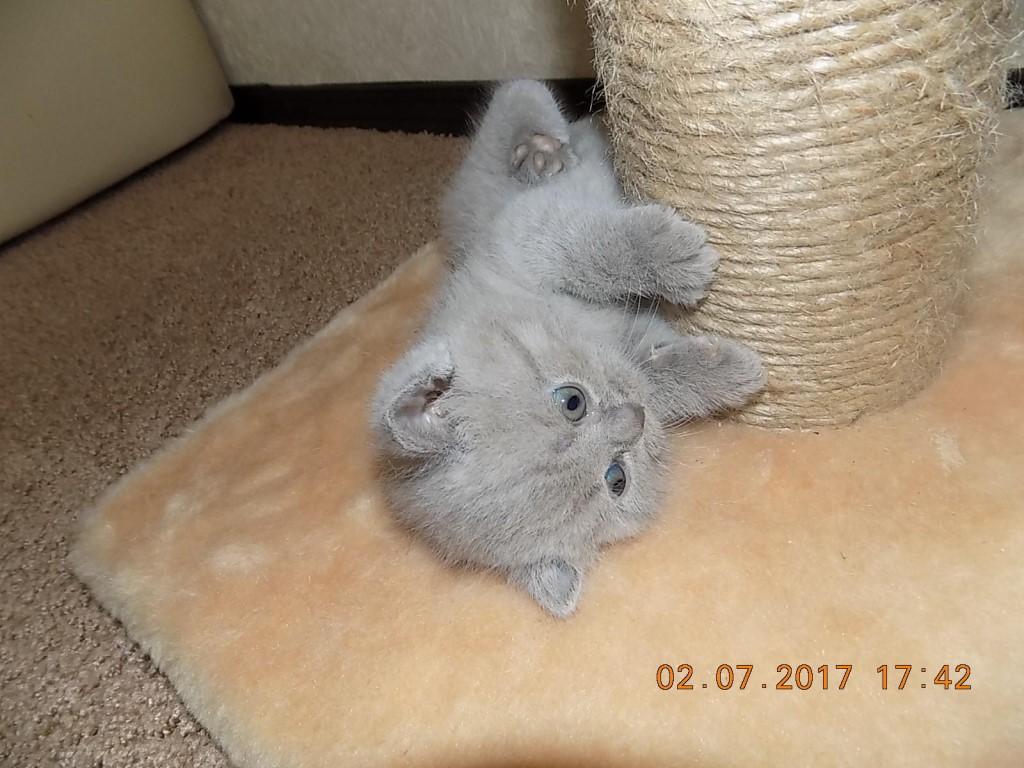 Чистокровная ,британская ,плюшевая кошечка, лилового окраса, родилась 04.06.17 Киса вырастит умненькой и крупной.