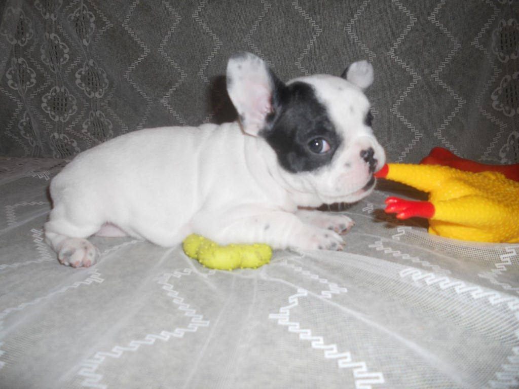 Продаются щенки французского бульдога, родились 19.09.17г.