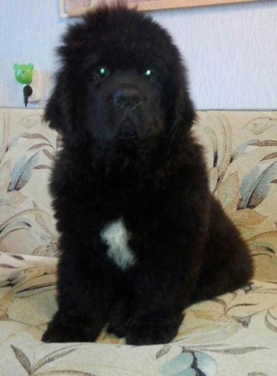 Предлагаются к продаже очень милые щенки Ньюфаундленда.