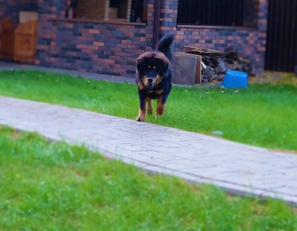 Продается девочка тибетского мастифа - ГОРДОСТЬ ХОЗЯИНА АЛЕКСИЯ, окрас черно-подпалый, 7 мес.
