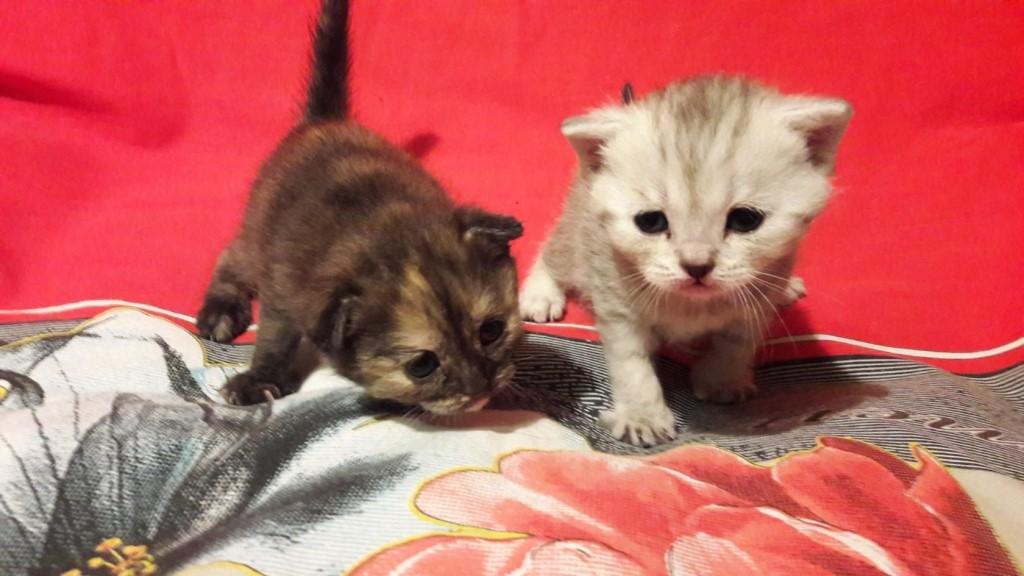 Продам шотландских вислоухих и прямоухих котят(мальчики и девочки).